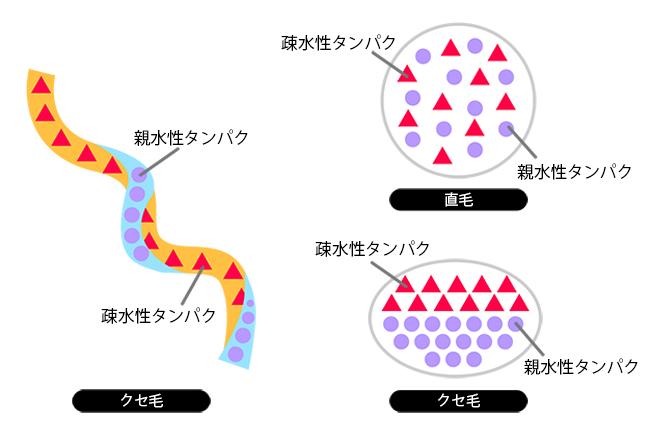 クセ毛の構造